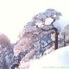山中千年雪松