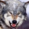 红狼yves