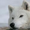 whitewolf1118